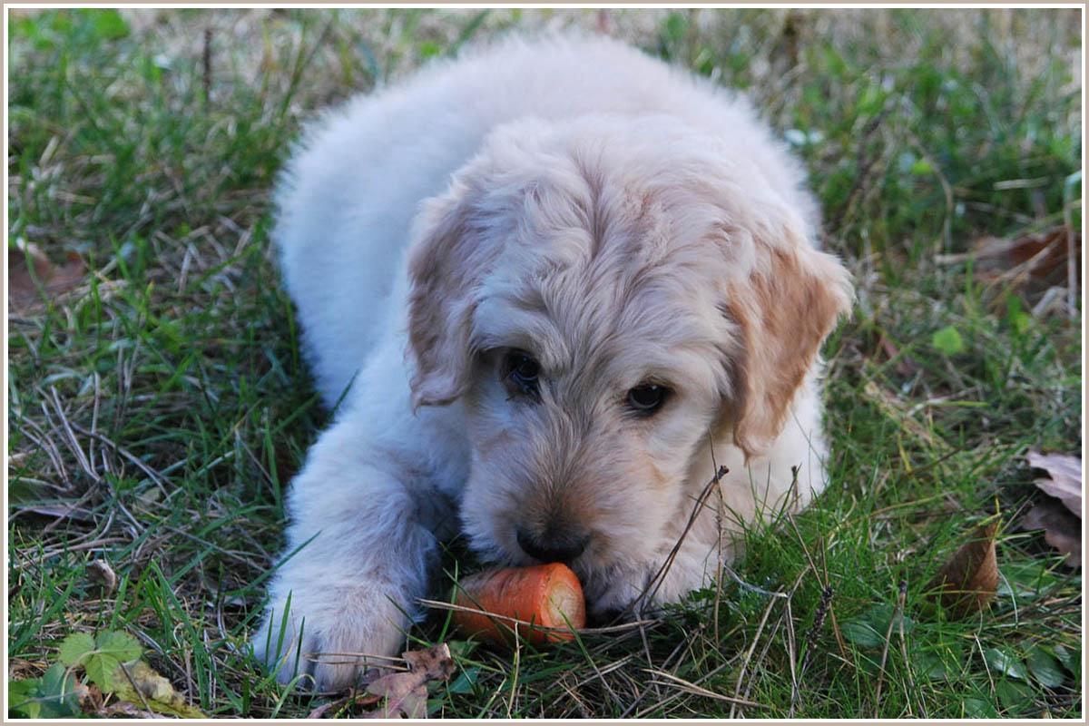 Veganes Hundefutter: Hund isst eine Möhre