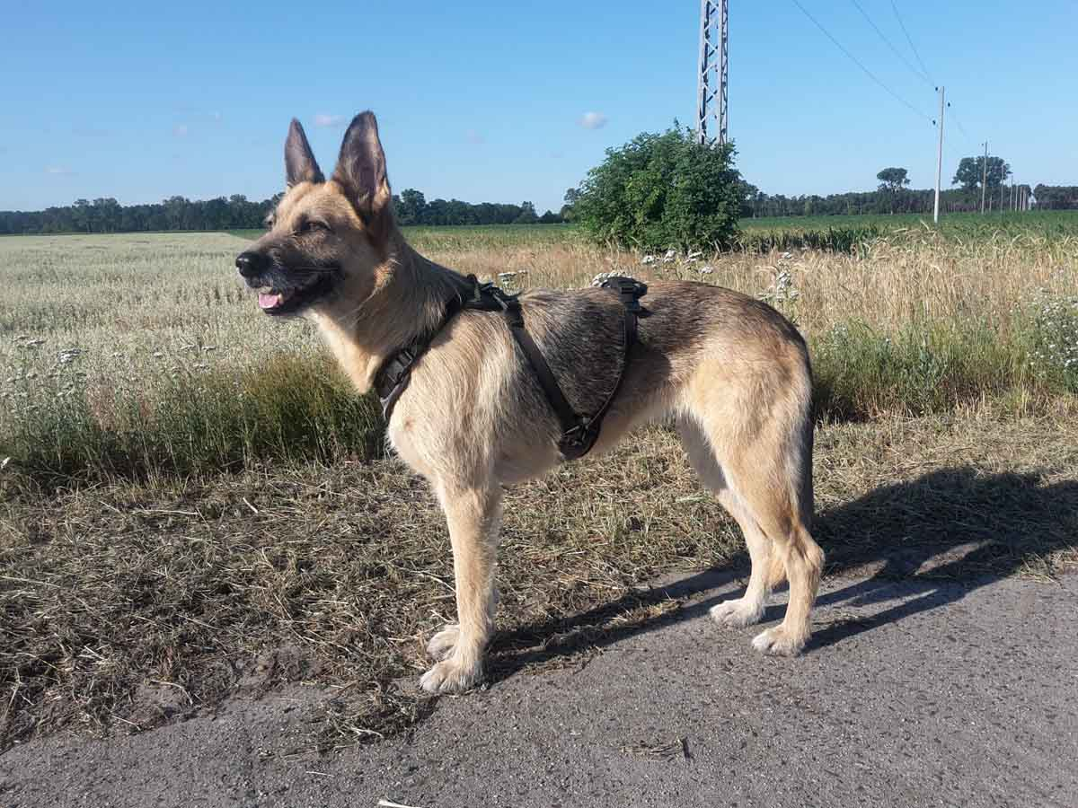 Brustgeschirr von Hundenerd -Härtetest